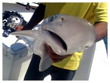 A shark caught while deep sea fishing in Daytona Beach