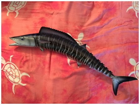 Mounted wahoo from a daytona beach fishing trip