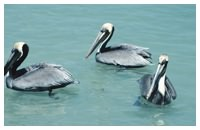 Florida brown pelicans on a Daytona Beach eco-tour on the Halifax River
