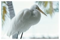 A great white egret is just one of many water birds that can be seen on a Daytona Beach scenic boat tour